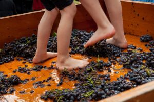 BVF2011 grape treading5o