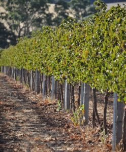 vine row morning light sml